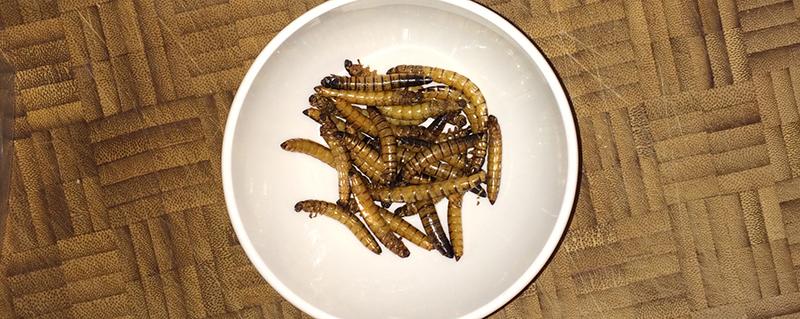 Test: Mehlwürmer und anderes Getier zum snacken: Zophoba