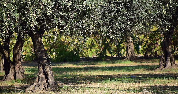 Oliven & Olivenbaum